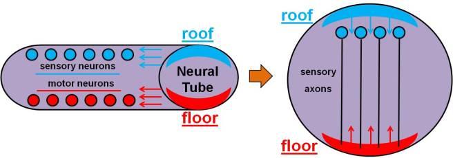 Neuron Development